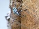 Longhorn beetle !! Egg laying Time !! from Shirakawa, Fukushima, Japan