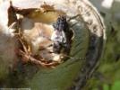タラの芽に集まるネジロカミキリ