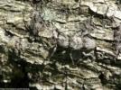 木と同化したカミキリムシ
