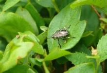 きれいなカメムシの幼虫