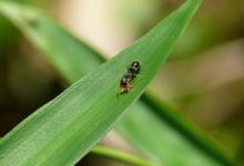 アリがアブラムシを殺害